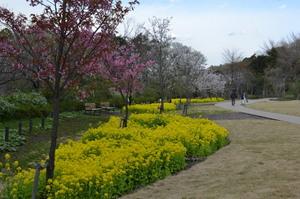 DSC_3874菜の花.jpg